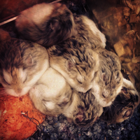 Dwarf Hamsters - cuddly and comfy by mirry92