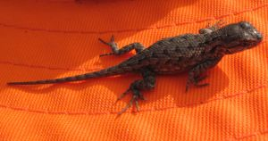 Lizard 3 -- Nov 2009 by pricecw-stock