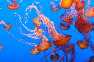 Monterey Bay Aquarium, Jellyfish Army by alierturk