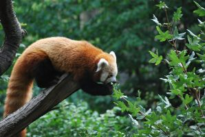 red panda 1.14 by meihua-stock