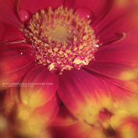 Gerbera drops... by freezinka