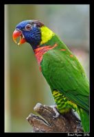 Rainbow Lorikeet by DarthIndy