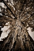 Sequoia by romainjl