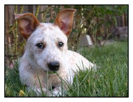 Australian Cattle Dog- Gimli by dogs