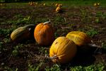 Pumpkins by the13wizard