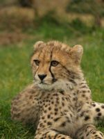cheetah cub by suphoto