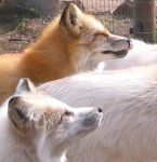 Red Foxes by ChinookWolf