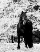 White Out Friesian by LarissaAllen
