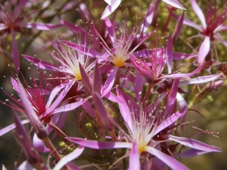 Calytrix exstipulata by DoodlebertDesigns