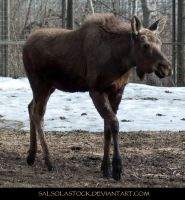 Moose 3 by SalsolaStock