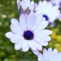 Daisy and bokeh by FrancescaDelfino