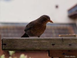 Starling. by ChessW24