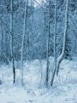 Snow Covered Trees by Forestlady-stock