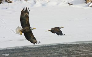 Eagle times two by DGAnder