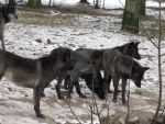 Wolfs in Givskud Zoo Februar 2013 3 by OptiMario94