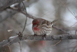 House Finch - 0214 by OpalWildPhotography