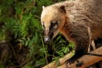 Coati by daniellepowell82