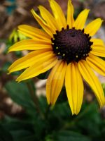 A Single Black-Eyed Susan by Sing-Down-The-Moon