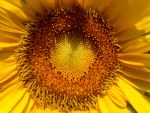 Sunflower by Sam-432