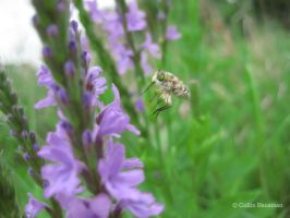 Hungry Bee Fly by WeepinAngel