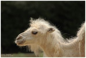 little camel by Claudia008