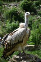 vulture XV by mimose-stock
