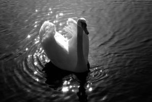 Magic Mute Swan... by EricReynolds