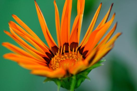 orange flower by afgismo
