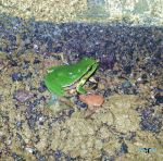 green frog by deveciufuk