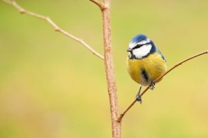 Classic Blue Tit by Tom-Mosack