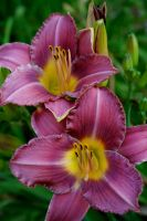 Lovely Lilies by FroglovinPhotogirl