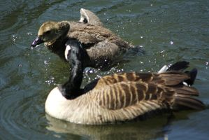 goose and young by marob0501