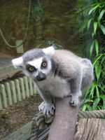 Animals 105 lemur by Dreamcatcher-stock