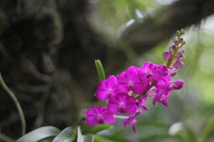 Orchid 1 by ivanwsd
