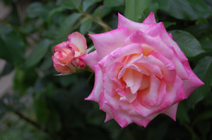 Scented Rose by josephine101