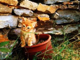kitten in a pot by annoulaki