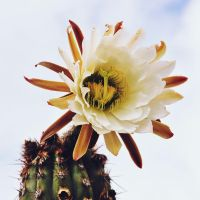 Cactus Flower by LeaLion