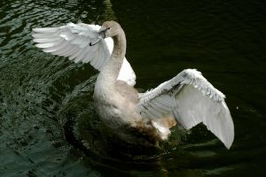 I'm A Swan by EarthHart