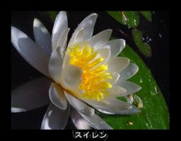 Water Lily by Valr