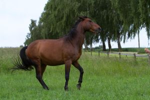 Bay Horse Rearing Stock by LuDa-Stock