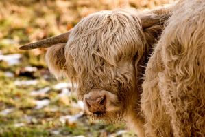 Highland Cattle by james-dolan