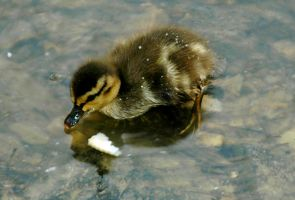 Tiny Baby Duckies III by LDFranklin