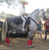 Andalusian Stallion stock by All4grace