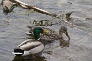A Mallard and his Lady by OneLittlePixel