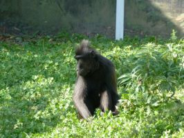 celebes crested macaque by Feridwyn