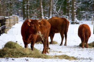 Cows in snow by FlyingMantaRay