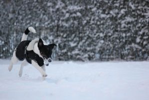 Nova playing in the Spring snow[4] by sanned