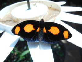 Black and Orange Butterfly by Werefox89