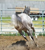 Grey quarter horse canter away from cam by equustock