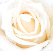 White Rose 1 by moviegirl78